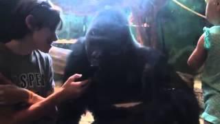 Gorila 'hipnotizado' con imágenes de móvil