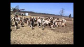 Herding Goats With Dogs : Blue The Border Collie