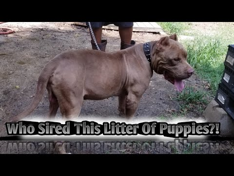 How To Single Register Your Stud With UKC As An American Bully! 📄🖊