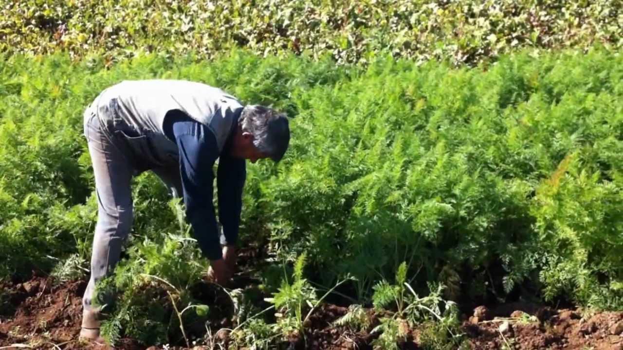 Cultivo De Zanahoria Organica En Melipilla Youtube La zanahoria es una verdura dura, bianual y de clima frío, que crece por la raíz gruesa que produce en la primera estación de crecimiento. cultivo de zanahoria organica en