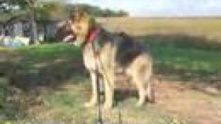Giant German Shepherd Puppy Abe Long Haired Gsd Dog