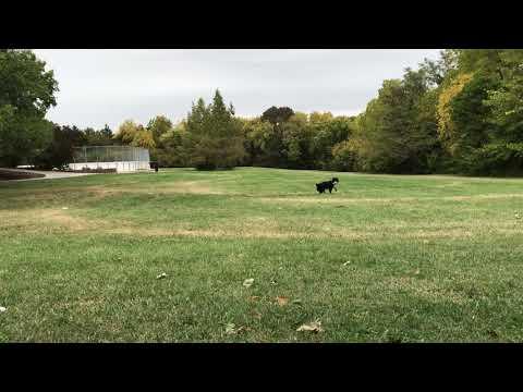 Frisbee tricks with Australian Shepard