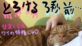 【癒し動画】オス猫は女好き!きんたの女枕でゴロゴロ言い続ける!