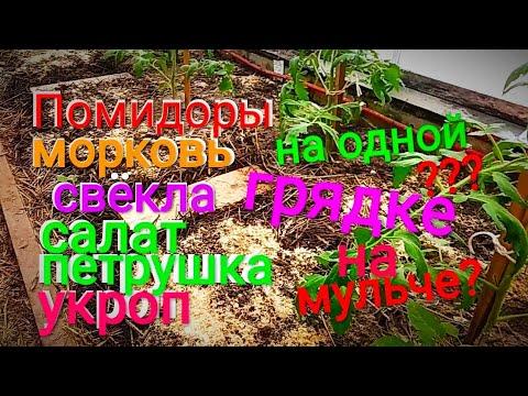 МОРКОВЬ,СВЕКЛА, ЗЕЛЕНЬ,ПОМИДОРЫ 30.03. на одной грядке ,в ТЕПЛИЦЕ. Садим корнеплоды прямо на мульчу.