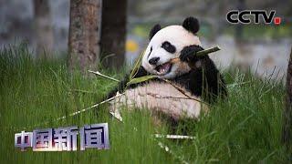 [中国新闻] 四川阿坝九寨沟熊猫园正式开园   CCTV中文国际