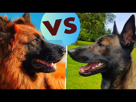 German Shepherd vs Belgian Malinois - Breed Comparsion