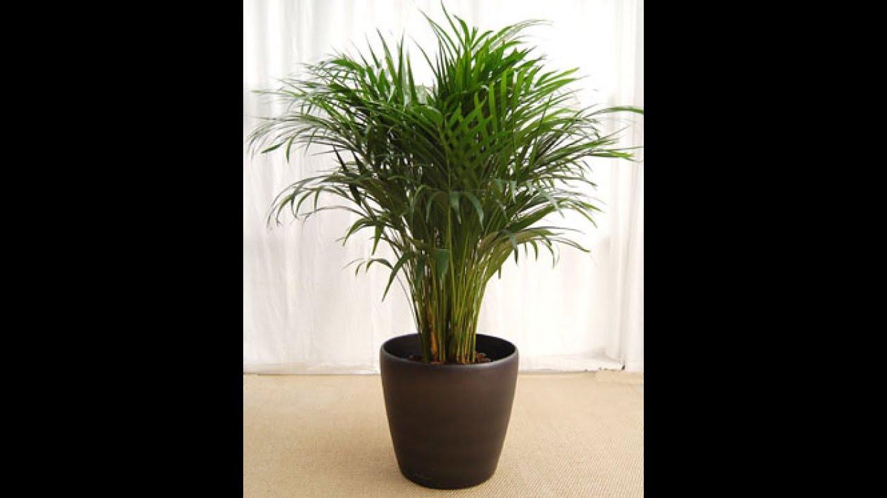 Arreglo de interior con palmeras chamaedoreas youtube - Plantas bonitas de interior ...