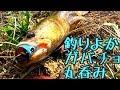 バス&ライギョ釣り 釣りよかガバチョが丸呑みに!! の動画、YouTube動画。