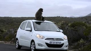 Baboon car ride Baboon taking a ride on the roof of a moving car