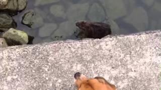 淀川にいたヌートリアが繁殖して、大川にも住み着いちゃったみたい.