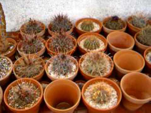 Yamal Cactus Diciembre 2008