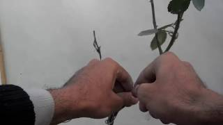 How To Rose Plant Bonsai | Wiring The Plant (Urdu/Hindi)