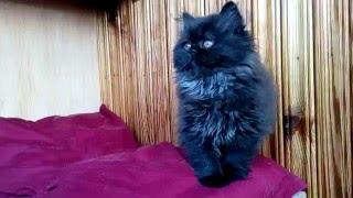 "питомник шотландских кошек ""Beauty Star"" хайленд фолд"