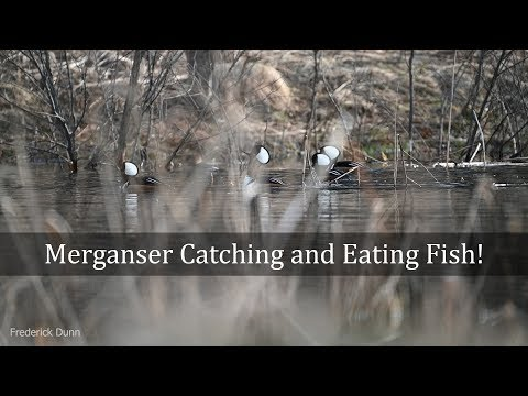 Hooded Merganser Male Duck Catching And Eating Fish North America