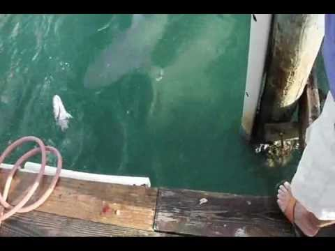 Merry Pier P A Grille Bull Sharks