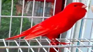 من أجمل تغاريد طائر الكناري لتسميع الفراخ