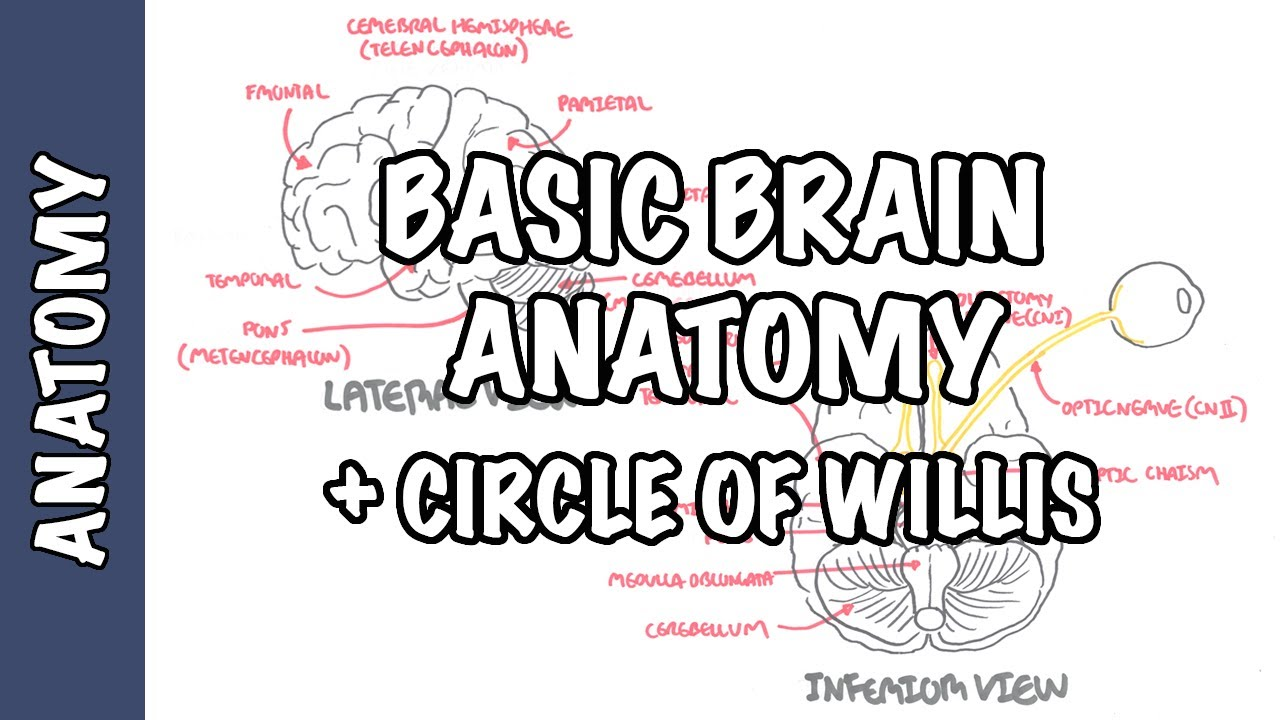 Anatomy Brain Circle Of Willis And Stroke Youtube