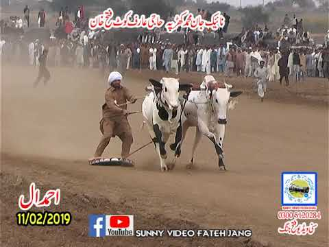 Bul Race In Pakistan Sunny Video Fateh Jang 11 01 2019  HAJI ARIF