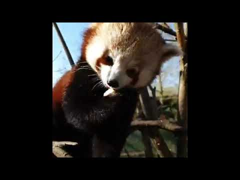 Red pandas have breakfast at Chester Zoo 🐼