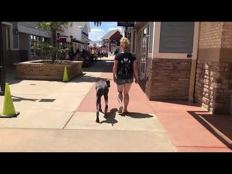 Boston Dog Trainers / Roxbury Dog Trainers - 1 Year Old Great Dane, Tucker
