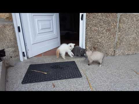 Persian Kittens and Puppies Exploring 7 Weeks old