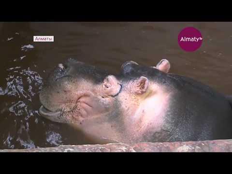 Бегемоту Джамбо из алматинского зоопарка привезли невесту из Франции (29.03.18)
