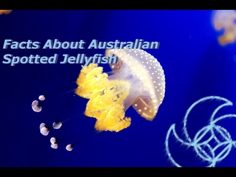 Facts About Australian Spotted Jellyfish; Aqua Life Episode 10