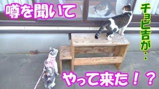 Chobi Cat come to see 2 cats, Neko Cat & Boss Cat