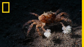 Watch These Crabs Tear Their Living  Pom Poms  to Shreds | National Geographic