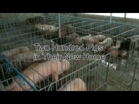 The Piggery Video