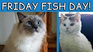Friday Fish Day | Bowie The Ragdoll Cat & Bella The Lambkin Cat