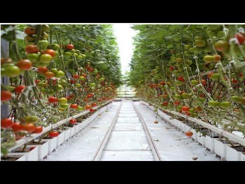 Clique e veja o vídeo Curso Hidroponia Cultivo de Tomate