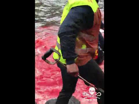 Dolphins being inhumanely killed at Hvannasund in the Faroe Islands - 2018