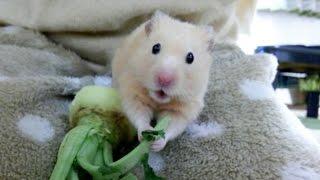 八つ当たりするハムスター?ダイコンをブチブチちぎる!おもしろ可愛いハムスターThe hamster taken out thumbnail