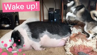 DOG TRIES TO WAKE UP SLEEPING PIG