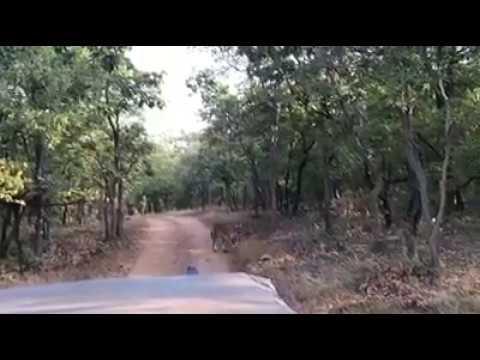 Tigers in nallamala forest