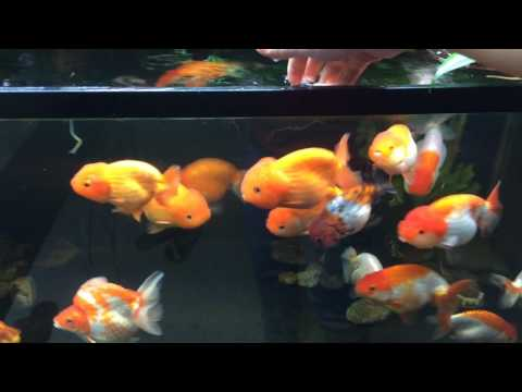 My Biotop Ranchu Goldfish