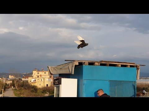 Roket Gıbı Gelen Adana Güvercinleri