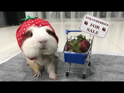 Funny And Cute Guinea Pig Videos #3 - Funny Pets 2018