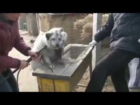 Height of Brutality for Animals by China !