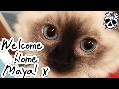 WELCOME HOME MAYA - Ragdoll Kitten Seal Point - 12 Weeks Old