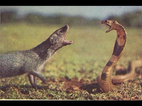 Mongoose Vs Cobra Mongoose Vs Lion Mongoose Vs Black