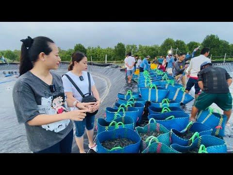 Trúng mùa tôm thẻ nuôi Công nghệ cao  Phan Diem Vlog trầm trồ với hàng tấn tôm của Ánh Kua ở Cà Mau
