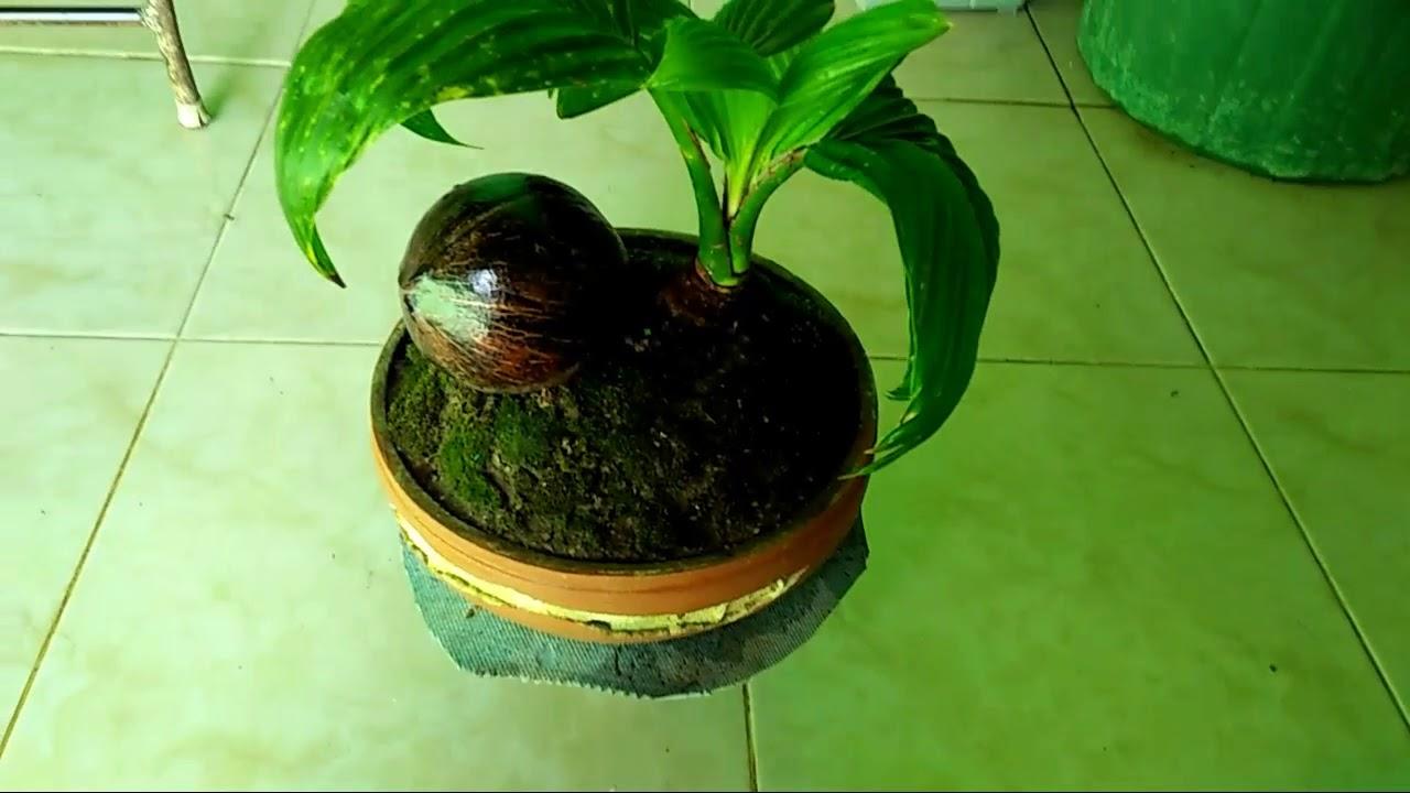 Bonsai Kelapa Ijo Dalam Pot Ceper Daun Empat Youtube