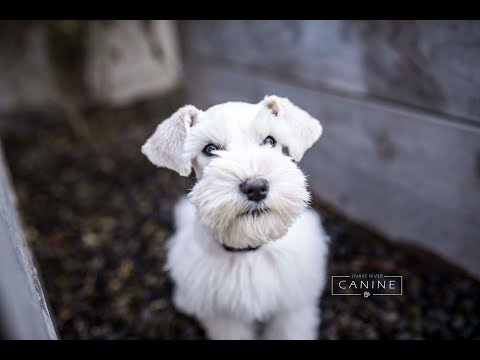 CHECK OUT SCOUT! Miniature Schnauzer Puppy Public Obedience Training