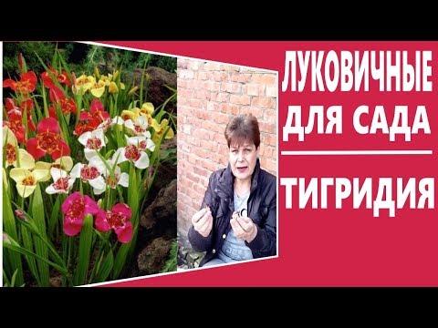Луковичные цветы для сада.  Тигридия -  красивейшие луковичные цветы