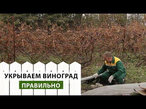 Как правильно укрыть виноград на зиму