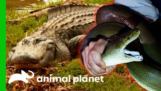 🔴 The Ultimate Reptile Encounters Compilation! | Animal Planet