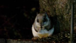 Flying Squirrel At My Feeder Last Night ~ Oct. 26, 2011