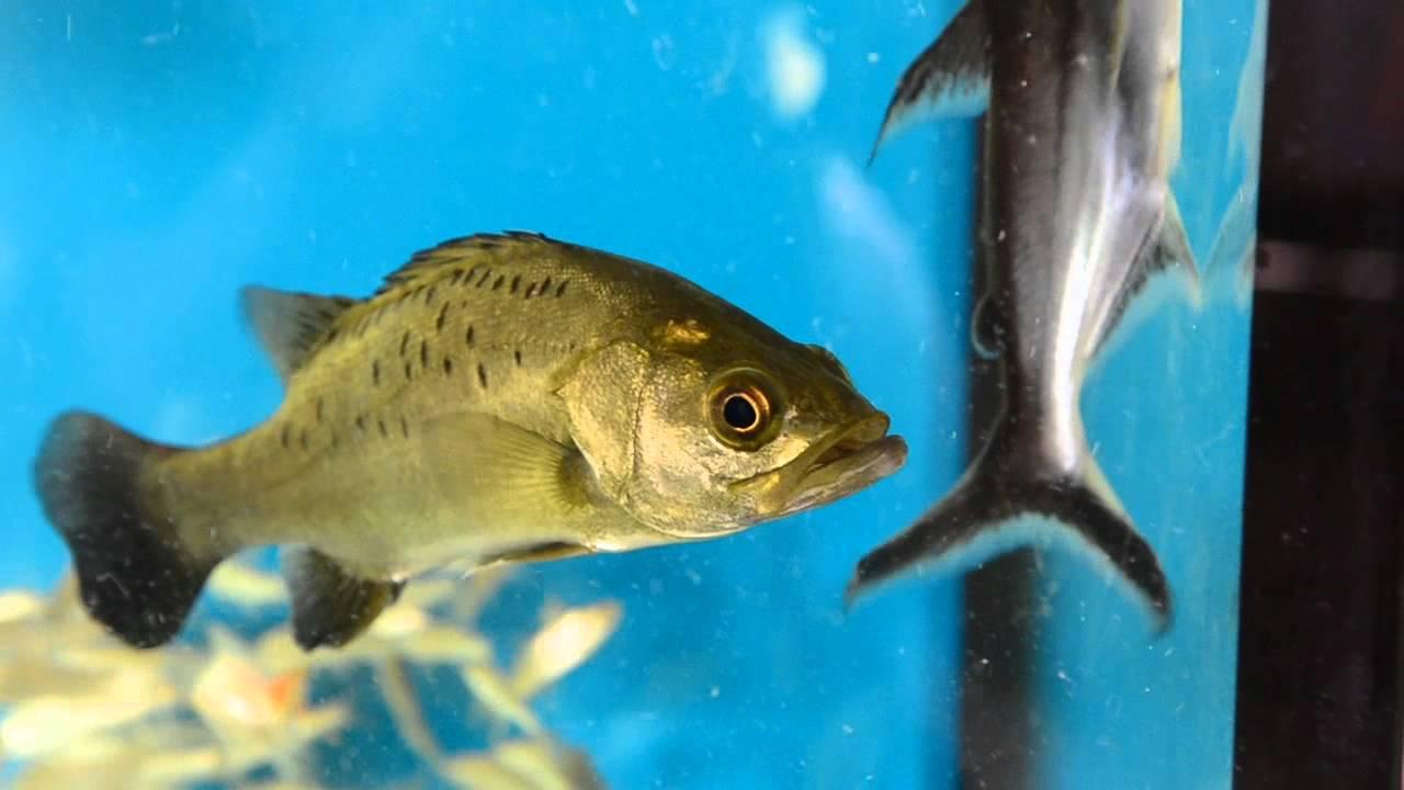 Freshwater Japanese sea perch(Lateolabrax japonicus) - YouTube